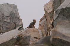 Zorro Culpeo (Pseudalopex culpaeus)    En la cima del cerro el Roble. Chile