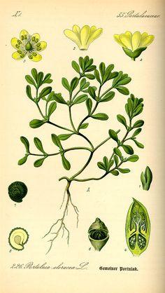 Purslane, in Flora von Deutschland, Österreich und der Schweiz (1885) by Thomé. © Kurt Stueber, 2007. GNU Free Document License. [purslane, Portulaca oleracea, Portulacaceae]