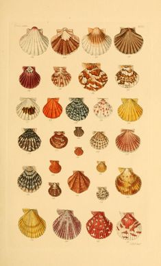 - Thesaurus conchyliorum, or, Monographs of genera of shells - Biodiversity Heritage Library Botanical Drawings, Botanical Illustration, Botanical Prints, Room Posters, Poster Wall, Poster Prints, Photo Wall Collage, Collage Art, Arte Copic