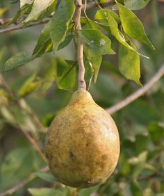 Bael Fruit, Stone Apple Or Aegle marmelos And Its Health Benefits