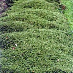 Hawera coprosma nice ground hugging plant for pool garden