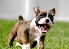Worlds happiest puppy. Meet Milo.