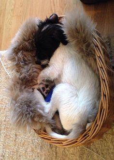 Sleepy Parson Russell Terrier