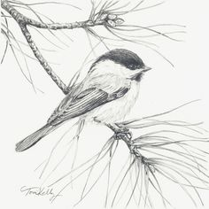Christmas Chickadee by Toni Kelly graphite on watercolor paper.