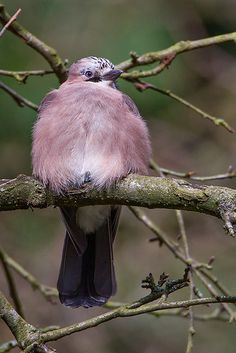 Jay by Kevin B Agar, via Flickr  Pink Jay found in U.K. and Scotland - except northern Scotland