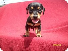 Daschund puppy for adoption
