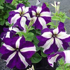 Best Garden Seeds Naturl Blue Star White Stripe Express Petunia Seeds, 200 Seeds, Professional Pack, Annual Big Blooms Winter Flowers