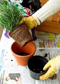 Rosmariini: istutus ja hoito | Meillä kotona Garden Plants, Planter Pots, Garden Ideas, Gardening, Lawn And Garden, Landscaping Ideas, Backyard Ideas, Horticulture