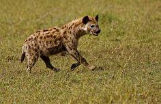 Hiena en Serengeti