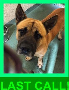 WE LOVE THIS BOY and he is WAY PAST DUE so he really needs an angel to come save his life today!! PLEASE HELP Meet zangeif #a1669327 an adorable German Shepherd / chow chow mix. #zangeif is a beautiful dog he's sweet and friendly, loves all people and other dogs. Please come to #mdas and meet him he deserve a better chance a loving home ‼️  at Miami Dade https://www.facebook.com/urgentdogsofmiami/photos/pb.191859757515102.-2207520000.1422666585./917701744930896/?type=3&theater