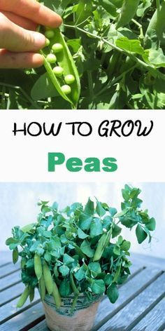 how to grow green peas from seeds