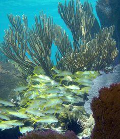 Goatfish in the Virgin Islands National Park, United States Virgin Islands. Photo by Dr. Caroline Rogers