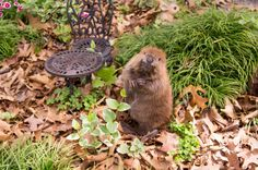 """""""Here are orphaned baby beavers Fern & Lily during their first supervised outdoor playtime at ARC for Wildlife in Texas,"""" says Cuteporter KB."""