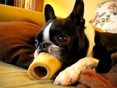 Funny gif (short video - click the photo to go to it) of a Boston Terrier's long tongue licking through a bone :)