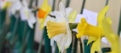 2016 Daffodil Shows and Competitions.
