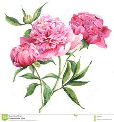 Vintage Peony Botanical Prints Pink vintage p
