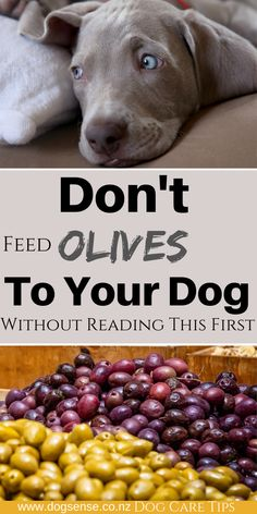 Dog care tips. Can dog's eat olives? Although olives have health benefits there are also dangers that can harm dogs. Read this BEFORE feeding olives to your dog. On my account you will find the most useful pins. Dog Grooming Tips, Dog Health Care, Can Dogs Eat, Best Dog Training, Dog Care Tips, Dog Hacks, Dog Eating, Olives, Dog Owners