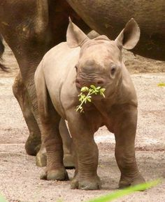 Baby rhino! these animals are beautiful....wish there was more of an international awareness for them!!!!!!