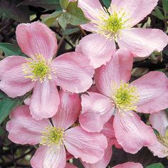 Clematis for fragrance lovers! Masses of rich vanilla scented blooms. Easy to grow!