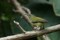Fork-tailed Sunbird (Aethopyga christinae)