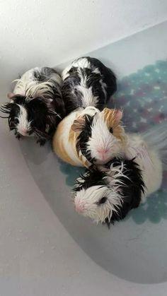 four beautiful guinea pigs having a bath