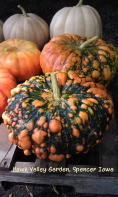 Hawk Valley Garden..spooky Cinderella pumpkins