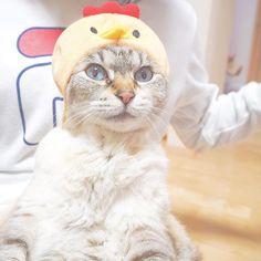 . . 新年🎍🌅🎍 明けましておめでとうございます! 2017年は酉年ですか🐓🐓 という事で、鳥のコスプレさせてみた(笑) 今年も宜しくお願いします🌸 . . #happy #new #year #cat  # #like4like #l4l #f4f #Instadiary #Instalike #Instagram #Instagood #Instagreat #followme #あけましておめでとう  #あけおめ #ことよろ#元旦 #正月 #猫 #愛猫 #酉年 #鳥 #写真好きな人と繋がりたい #写真撮ってる人と繋がりたい #猫好きさんと繋がりたい