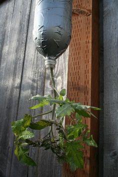 goedkope en ruimtebesparende manier van tomaten kweken. Op de originele site staat zelfs hoe je een handig watergeefsysteem kan maken door een tweede fles erboven te maken met een gat in de dop waar het water langzaam door drupt