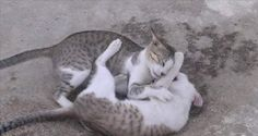 What to Do and What Not To Do When Your Cat is Fighting With Another Cat!