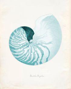 Vintage Sea Shell Nautilus Pompilius Print 8x10 P226. $14.00, via Etsy. Canson, Seaside Style, Nautilus Shell, Antique Illustration, Sea Art, Am Meer, Sea Creatures, Illustrations, Vintage Prints