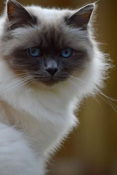 9 Alive Cool Tips: Fluffy Cat Tiger Cubs cat ideas costumes.List Of Cat Names cat paw study. Ragdoll Cat Breed, Birman Cat, Pretty Cats, Beautiful Cats, Clumping Cat Litter, Youtube Cats, Photo Chat, Curious Cat, Cute Cats And Kittens