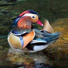 Aix Galericulata, Male Duck, Duck Pictures, Mandarin Duck, Most Beautiful Birds, Beautiful Paintings, Animals And Pets, Cute Babies, Creatures