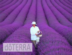 Lavender! One of the 8 doTERRA essential oils used in the AromaTouch Technique