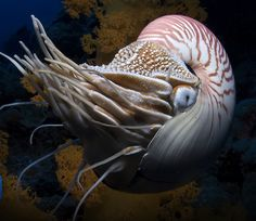 great photo capture of a nautilus