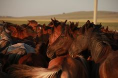 These are Kazakh horses in North Central Kazakhstan.