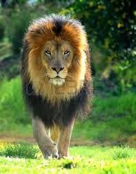 Znalezione obrazy dla zapytania rysunek lew pinterest