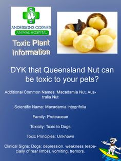 Queensland Nut