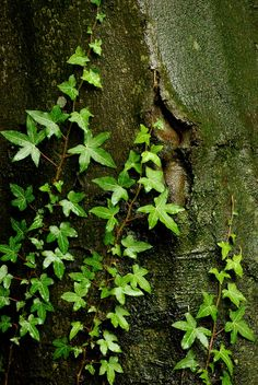 The Enchanted Forest / karen cox. Creeping on, where time has been. A rare old plant is the Ivy green. Mother Earth, Mother Nature, Photographie Macro Nature, Ivy Plants, Fantasy Forest, Walk In The Woods, Garden Cottage, Shades Of Green, Landscape