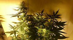 Queen Kush - Bcn Seeds Best Cannabis Natural #cannabis #weeds #marihuana #marijuana #autocultivo #cannabisseeds