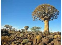Desert baboa