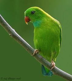 The Vernal Hanging Parrot - Loriculus vernalis, is a small parrot which is a resident breeder in the Indian Subcontinent and some other area...