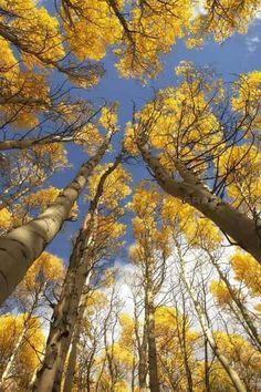 Aspen Trees - Colorado