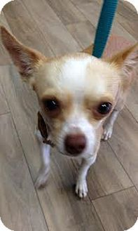 Providence, RI - Chihuahua Mix. Meet Jackson in RI  COME MEET ME!!, a dog for adoption. http://www.adoptapet.com/pet/11457495-providence-rhode-island-chihuahua-mix