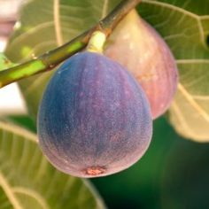 The Fig harvest season is in full swing, and this is great news because the sweet rich flavor of figs, combined with their soft pulp and crunchy seeds make for an irresistible treat that can't… Growing Fruit Trees, Fast Growing Trees, Growing Plants, Fruit Garden, Edible Garden, Garden Plants, Garden Trees, House Plants, Organic Gardening