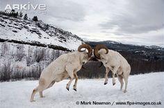 Dall-sheep-rams-Ovis-dalli-dalli-head-butting.jpg (650×432)