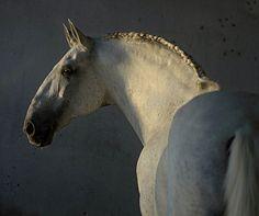 Classic old Baroque type Lusitano stallion. photo: Ekaterina Druz.