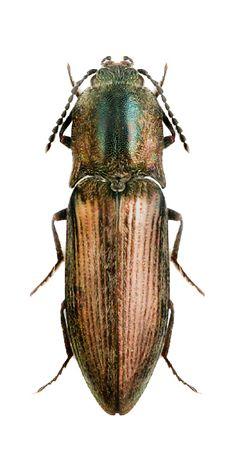 Actenicerus paulinoi
