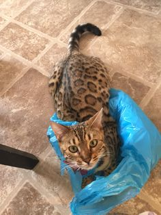 She loves her bags lol #bengalcat Bengal cat