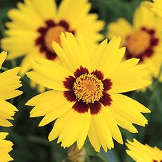 Sunkiss Coreopsis Seeds