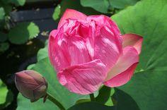京都フォト通信: 蓮の花 Kyōto Botanical Garden, Sakyō-ku, Kyōto Fujifilm Finepix X100 京都府立植物園(京都市左京区下鴨半木町)